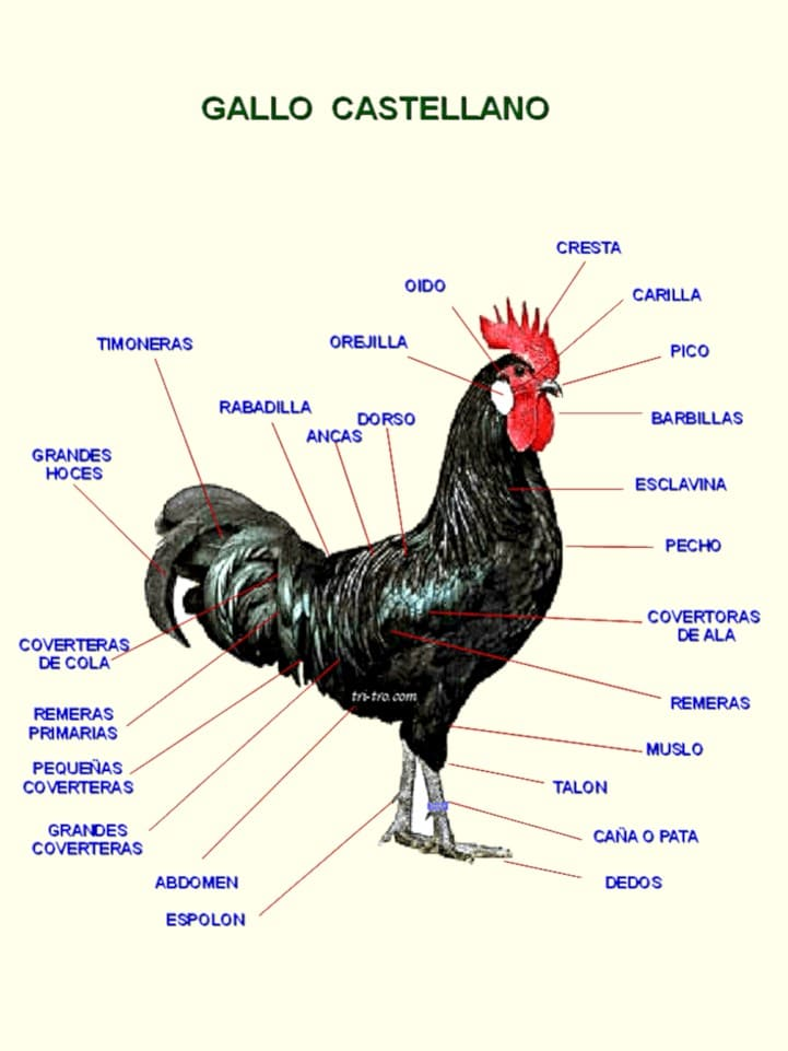 Descripción partes del Gallo Castellano negro.