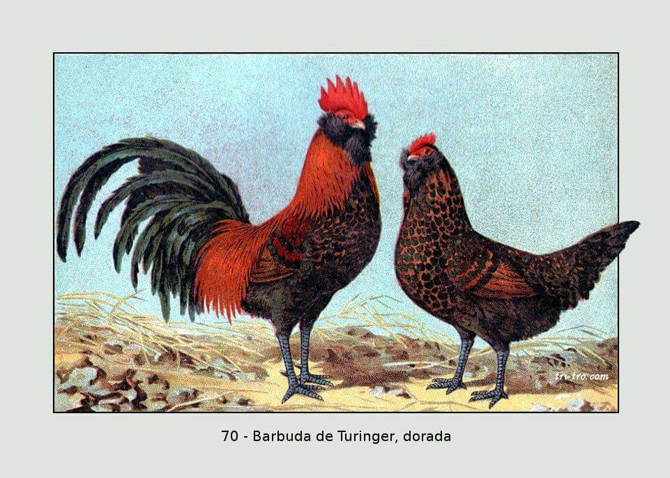 70-Barbuda de Turinger dorada