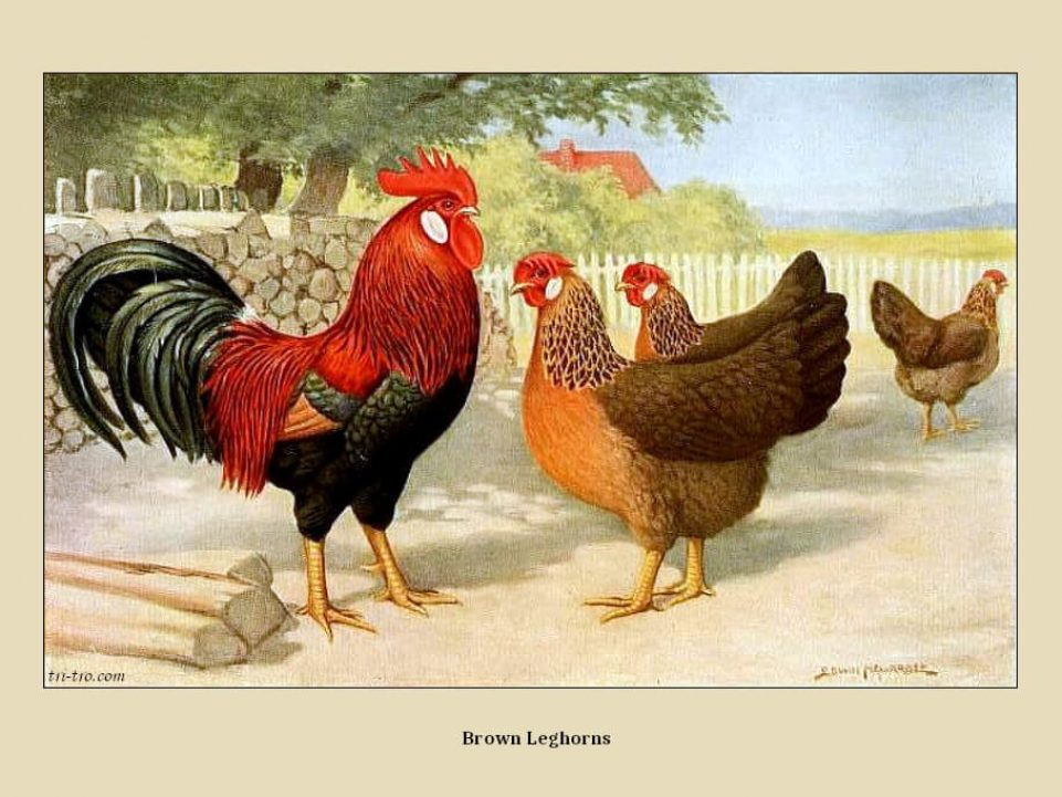 9 - Leghorns brown