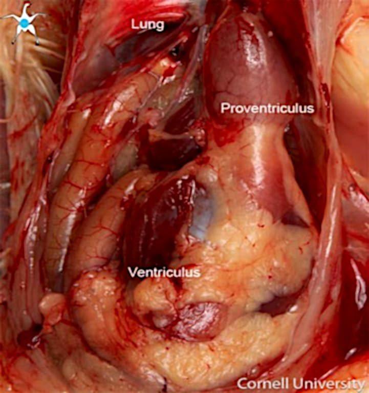 Proventriculo y ventrículo gallina.