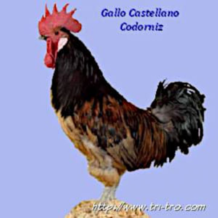 Gallo Castellana Codorniz