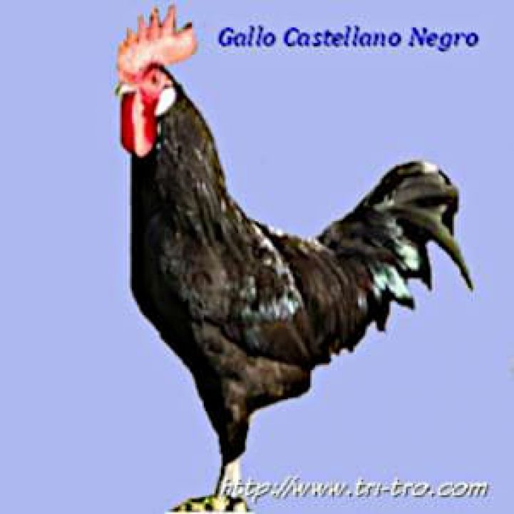 Gallo Castellano negro