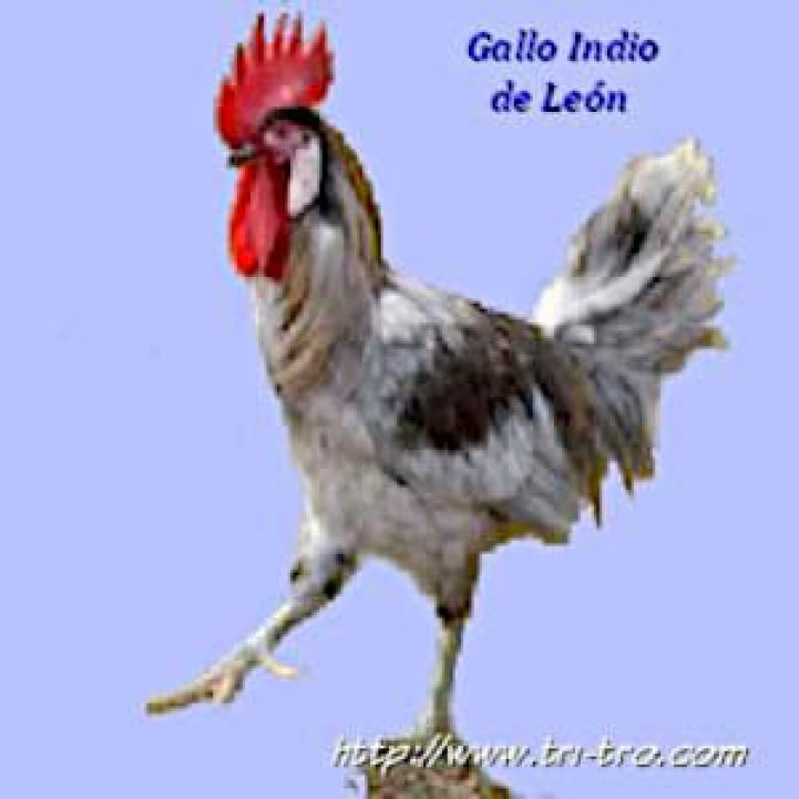 Gallo Indio de León
