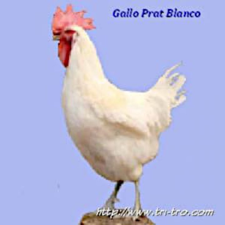 Gallo Prat Blanco
