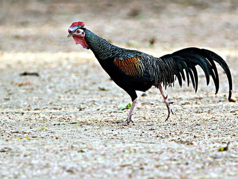 Gallo Varius © James Eaton Birdtour Asia, Komodo, Indonesia, Agosto 2012