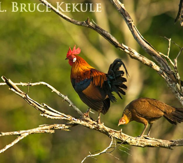 Gallus gallus pareja en Khao Ang Rue Nai Wildlife Sanctuary