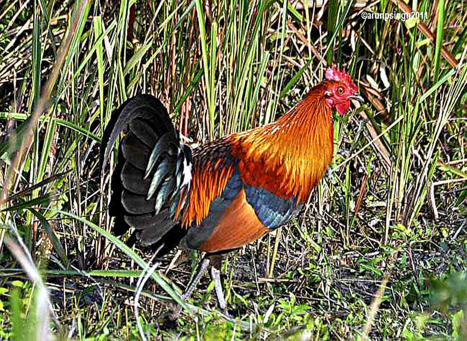 Gallus macho © Arun P Singh, Assam, India, Enero 2011