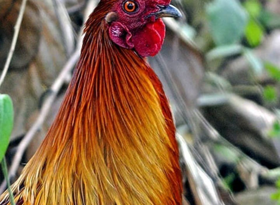 Gallus macho © Gaurav Bhatnagar, Assam, India, Fin Marzo 2008