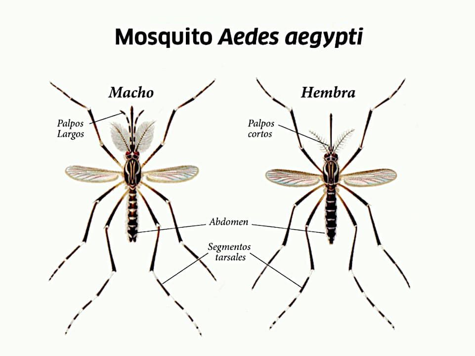 Mosquito Aedes, macho y hembra