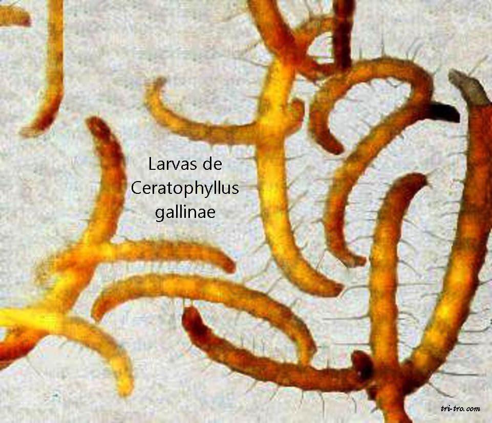 Larvas de pulga Ceratophyllus gallinae